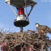Osprey Chick on Nest along James River