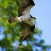 Adult Osprey in Flight
