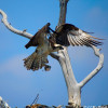 Adult Osprey Bringing Food into Nest