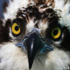 Adult Osprey Head Shot Front View