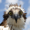 Adult Osprey Head Shot Frontal View
