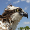 Adult Osprey Head Shot Side View