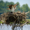 Adult Osprey on Nest