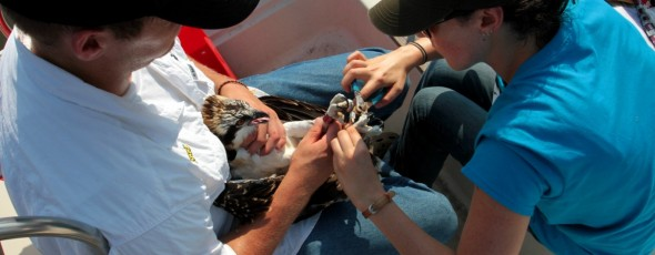 Osprey banding season begins on James River