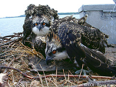 Let the 2013 OspreyWatch Season Begin!