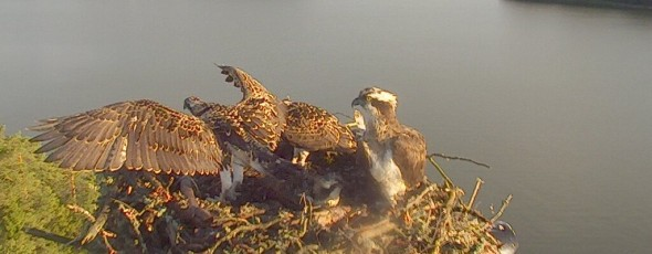 Make osprey nest observations using web cameras