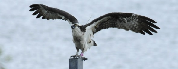 Follow Osprey Migration with Satellite Tracking Projects
