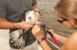Libby Mojica bands an osprey along the James River with Jacob Steinberg.