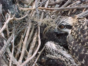 Nestling tangled in netting brought to the nest by its parents.