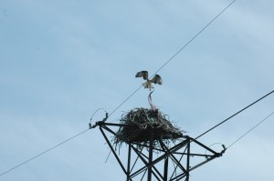 Adult osprey tangled in line attached to a nest on a transmission line.