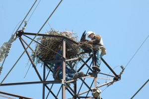Dominion Power lineman rescued the osprey by cutting the monofilament (2009, Virginia).