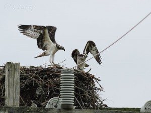 Osprey chicks practice flying at a nest on a power pole.