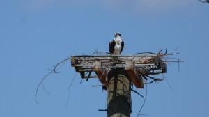 Adult osprey beginning a new nest on an alternate nest platform. From OspreyWatch nest 492.