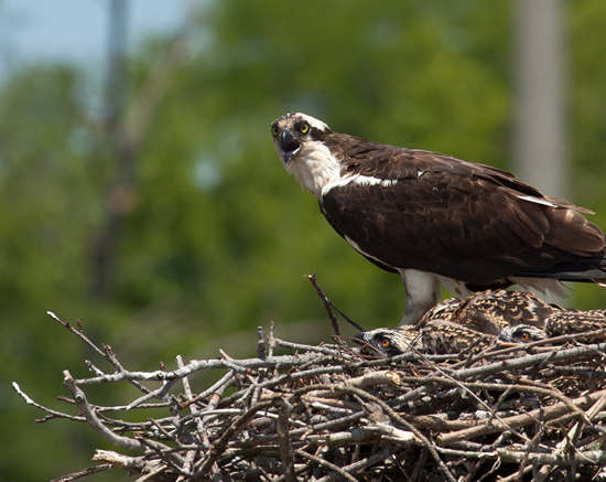 Female osprey on nest with two chick brood. Photo by Bryan Watts.