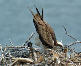 Are You Ready for the 2015 Osprey Nesting Season?